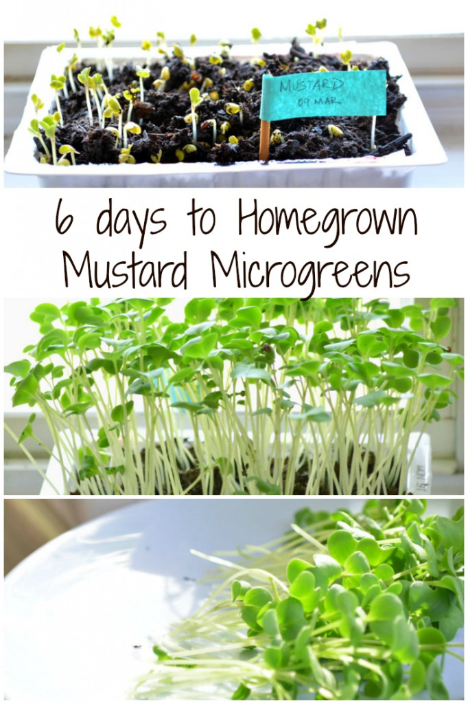 Homegrown Microgreens - The complete guide
